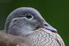 Mandarin Duck (Kevin B Agar) Tags: adeldam britishbirds mandarinduck