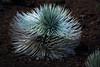 the silversword (heartinhawaii) Tags: silversword plant maui haleakala lavarocks upcountry summit volcanosummit haleakalasummit 10023feet mauivolcano hawaii nature hawaiiplants flora endemic mauiinnovember nikond3300