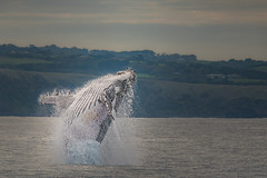 The Song of the Humpback Whale (BlueberryAsh) Tags: august2016 breaching breachingwhale phillipisland whale ocean humpbackwhale seamammal tamron150500 nikon nikond750 wow