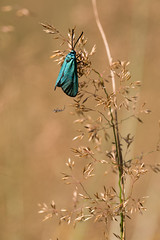 Adscita sp. and friend (regisfiacre) Tags: bugs insecte insect macro canon 100mm nature meadow prairie exterieur outside france moselle papillon butterfly schmetterling spider adscita turquoise