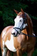 Shesa Lucky Tradition (elmstmiata) Tags: horse paint pinto chestnut bridle riding equine portrait baldface blueeyeshorse