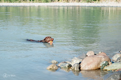 chase-roam-early-morning-mamquam-200816-ajbarlas-1211.jpg (A R D O R) Tags: ajbarlas ardorphotography blacklab chase chocolatelab dogs labrador puppy roam
