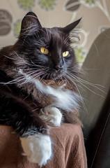 Relaxing On the table (Percy the cat) (Olympus OMD EM5II & mZuiko 12-40mm f2.8 Pro Zoom) (1 of 1) (markdbaynham) Tags: cat feline big pet cute whiskers black eyes olympus oly omd em5 em5ii csc mirrorless evil mft microfourthirds m43 m43rd micro43 mz zd zuikolic zuiko percy mzuiko 1240mm f28 zoom