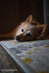 sara (lynn.pelland) Tags: availablelight light dog ambiance mood
