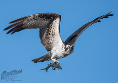 Osprey 9_15 2 (krisinct- Thanks for 12 Million views!) Tags: nikon d500 500 f4 vrg