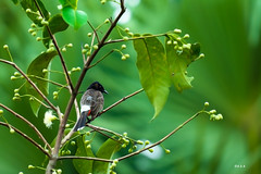 _EMU6827 (Emu Alim) Tags: red pet bird nature birds animal standing swimming flying nikon sitting wildlife full frame 28 dhaka fullframe nikkor dslr bangladesh 70200mm preying bulbul vented birdsbangladesh framebangladesh nikond4dslr nikond4d4