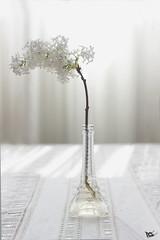 (Nerea Meln Nava) Tags: flowers white flores flower blanco mam mother eiffel mum lilac cumpleaos lilas jarron