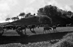 4115 Cattle grazing--Bashang grassland , China (ngchongkin) Tags: china harmony magiceye bashang fairplay musictomyeyes finegold clapclap vivalavida flickrbronzeaward diamondstars earthasia thebestofday gnneniyisi thebestofblackandwhite spiritofphotography thebestshots visionaryartsgallery wonderfulasia photographyforrecreation theredgroup niceasitgets thelooklevel1red thelooklevel2yellow infinitexposure