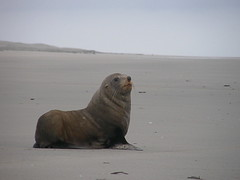 Fur seal heads for the sea, Farewell Spit (billpolley) Tags: newzealand farewellspit furseals