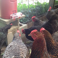 "Warmer weather is on its way and our hens will be ready to cope with the heat thanks in part to their BriteTap Waterer from ChickenWaterer.  This device is ingenious and allows our girls to enjoy cool, crystal clean water even on the hottest summer days. • <a style=""font-size:0.8em;"" href=""http://www.flickr.com/photos/54958436@N05/16981583414/"" target=""_blank"">View on Flickr</a>"
