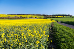 Fields in Sping (Simon Downham) Tags: blue green field yellow landscape spring day afternoon walk country seed saturday hampshire lane oil land april scape stroll basingstoke rapeseed 2015 cliddesden skysunny simondownham