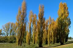 Popular Poplars (Jungle Jack Movements (ferroequinologist)) Tags: poplars poplar chapman canberra autumn leaf leaves fall act australia john capital ss jungle jack
