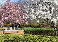 spring at Cantigny...Explored (LotusMoon Photography) Tags: park pink trees white green nature canon bench magnolia hbm happybenchmonday