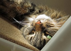Upside Down Cat (Daisy Waring World) Tags: catseyes catsnose catswhiskers longhairedtabbycat