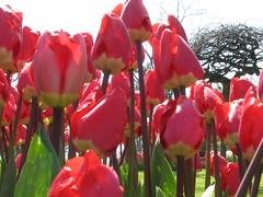 IMG_5929 (Gkmen Kmrt) Tags: tulips tulip 2014 emirgan laleler