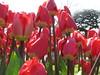 IMG_5929 (Gökmen Kımırtı) Tags: tulips tulip 2014 emirgan laleler