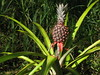 Muthanga, Wayanad District, Kerala, India, Asia, Indien (oksana8happy) Tags: copyright food india fruits fruit rural essen asia asien heiconeumeyer farm kerala pineapple agriculture ananas frucht indien wayanad agricultural früchte obst southasia copyrighted nahrung ländlich pineappleplant wayanaddistrict muthanga ananaspflanze südasien mutanga nordkerala kalankandi