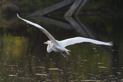 Great egret takes flight (Scott Alan McClurg) Tags: life park wild white bird heron nature water animal fly flying back spring pond backyard wildlife flight neighborhood gliding flapping flap greategret naturephotography glide
