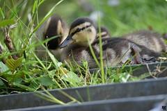 Duckling siblings (unefunge) Tags: bird birds germany deutschland duck spring duckling ente zoppenbroich tamron150600