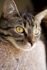 Lucy (tracy.henegar) Tags: pet animal cat blackandbrown