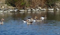 Grauwe ganzen. (mia_moreau) Tags: water vogels ganzen grauweganzen
