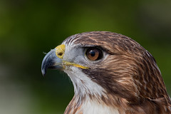 "Red-tailed Hawk (kevinm66 (aka ""The Bird Whisperer"")) Tags: ngc npc"