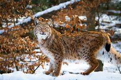 Lynx in snow (Cloudtail the Snow Leopard) Tags: wildpark pforzheim tier animal mammal säugetier winter schnee snow katze cat luchs lynx cloudtailthesnowleopard
