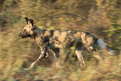 Cão-selvagem-africano - African Wild Dog - Lycaon pictus (Luana Bianquini) Tags: wild dog african lycaon pictus cãoselvagemafricano