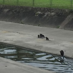 Reward for my run: spotted the #Bishan #otter family in the longkang. #latergram #Singapore #editedInstagram (Tym) Tags: nature square singapore drain squareformat otters bishan longkang monsoondrain otterfamily iphoneography instagramapp uploaded:by=instagram bishanotters