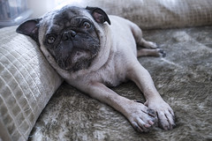 Is the weekend here yet? (danperezfilms) Tags: dog pets cute dogs funny pug lazy pugs