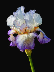 Iris on Black (gtncats) Tags: park iris flower nature blackbackground outside blossom bloom onblack macrolens autofocus aoi ef100mm ef100mmmacrolens topazlab irispark canon70d photographyforrecreation infinitexposure topazglow