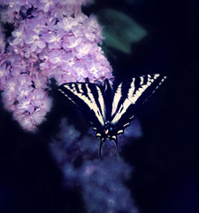 Halcyon (JaelMClay) Tags: color detail macro nature closeup butterfly