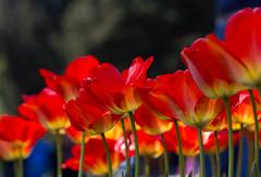 Tulipani ((Raffaella@)) Tags: light primavera colors spring natura tulip april colori luce tulipani greatphotographers