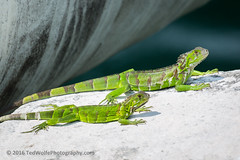 B36C5000 (WolfeMcKeel) Tags: vacation green keys spring key florida wildlife lizard iguana largo 2016