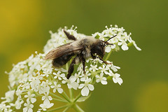 Andrena vaga sipping nectar on Anthriscus sylvestris (henk.wallays) Tags: