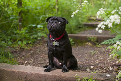 DSC_0402-2 (zoea1) Tags: dog black dogs pug pugs