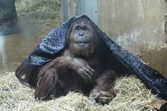 Ape (Read2me) Tags: zoo animal mammal she cye friendlychallenges dctrip lucy hairy gamesweepwinner thechallengefactory pregamewinner challengeclubwinner