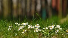 HFF (nirak68) Tags: flower fence garden de deutschland blossom daisy blume zaun blte garten schleswigholstein gnseblmchen bellisperennis unkraut wildblume 112366 c2016karinslinsede