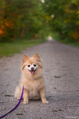 my girl <3 (severalsnakes) Tags: dog puppy lens pom pentax walk hike missouri mkt traveling leash pomeranian trade exchange fannie katytrail ks2 sedalia niftyfifty pentaxa5017 pentaxforumscom pentaxforums travelinglens saraspaedy