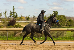 Training (rumimume) Tags: horse ontario canada racetrack training canon photo still sigma racing niagara picoftheday 2016 550d t2i forteire rumimume