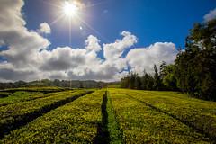 Tea Farm (Artur Tomaz Photography) Tags: cloud sol tea farm nuvens aores ch simetria plantao gorreana ilhadesomiguel simmtery