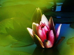 (Botond Pataki) Tags: light shadow red white lake color green water up contrast lily close fade