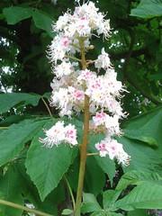 Horse Chestnut Blossom (cjayd62) Tags: flowers horse white tree blossom chestnut