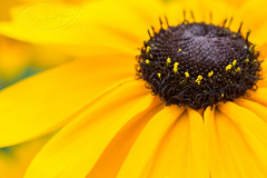 Black-Eyed-Susan Flower ( David Gunter) Tags: flower macro closeup tube extension blackeyedsusan