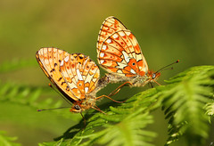 Keeping their race alive (Xenofon Levadiotis) Tags: macro animal fauna forest canon butterfly insect greek is spring woods outdoor butterflies 100mm lepidoptera greece papillon borboleta usm mariposa ef farfalla schmetterling fritillary vlinder insecta euphrosyne motyl  pearlborderedfritillary pearlbordered  f28l  boloria boloriaeuphrosyne    greekfauna butterfliesofgreece           ef100mmf28lisusmmacro greekbutterflies