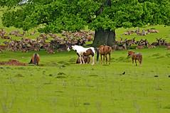 Waterhole and Shade (Dreamsmitten) Tags: horses grass birds restingplace waterhole oaktree reddeer deerpark jackdaws