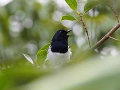 Oriental Magpie Robin (WilliamPeh) Tags: wild bird robin birds animal bokeh outdoor wildlife birding olympus explore magpie oriental omd em5