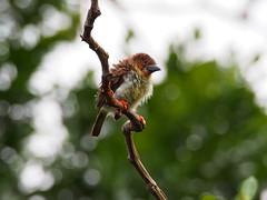 Brown Barbet (WilliamPeh) Tags: wild brown bird birds animal bokeh outdoor wildlife birding olympus explore omd barbet em5