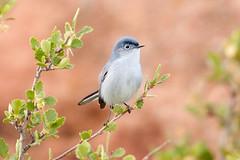 Blue-gray Gnatcatcher (mhawkins) Tags: bird birds redrocks bluegraygnatcatcher polioptilacaerulea redrockspark
