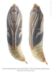 Box tree moth, pharate adult (Franziska Bauer) Tags: lepidoptera pupa metamorphosis metamorphose crambidae spilomelinae pharate cydalimaperspectalis pharateadult